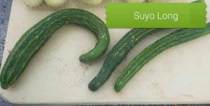 Suyo Long Cucumber seeds